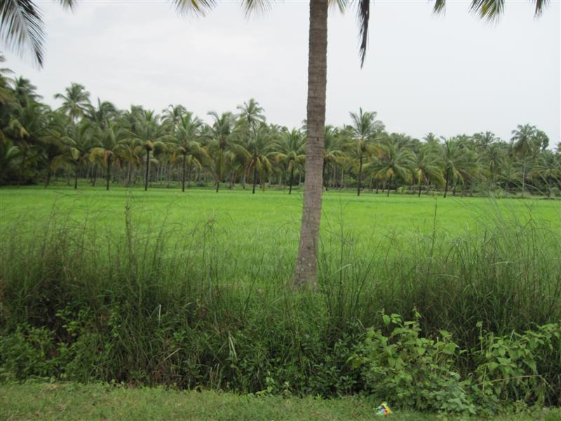 Green Paddy fields Arampadam